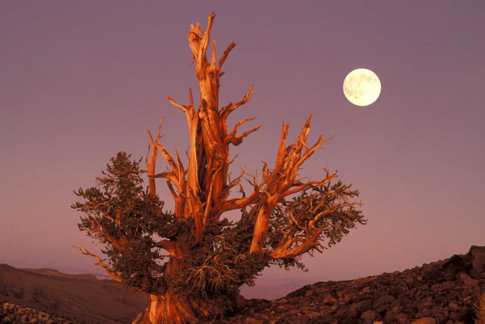 CA, Inyo NF, Full moon rising in Pine Forest Welling, Dave 135835