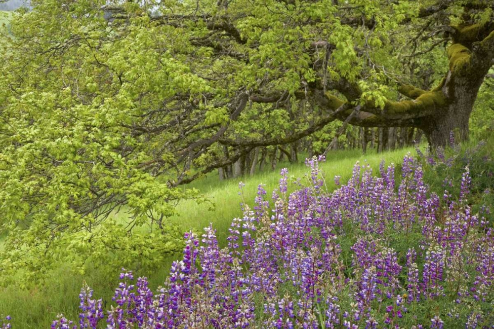 CA, Redwoods Lupines and and oak trees in spring Paulson, Don 133393
