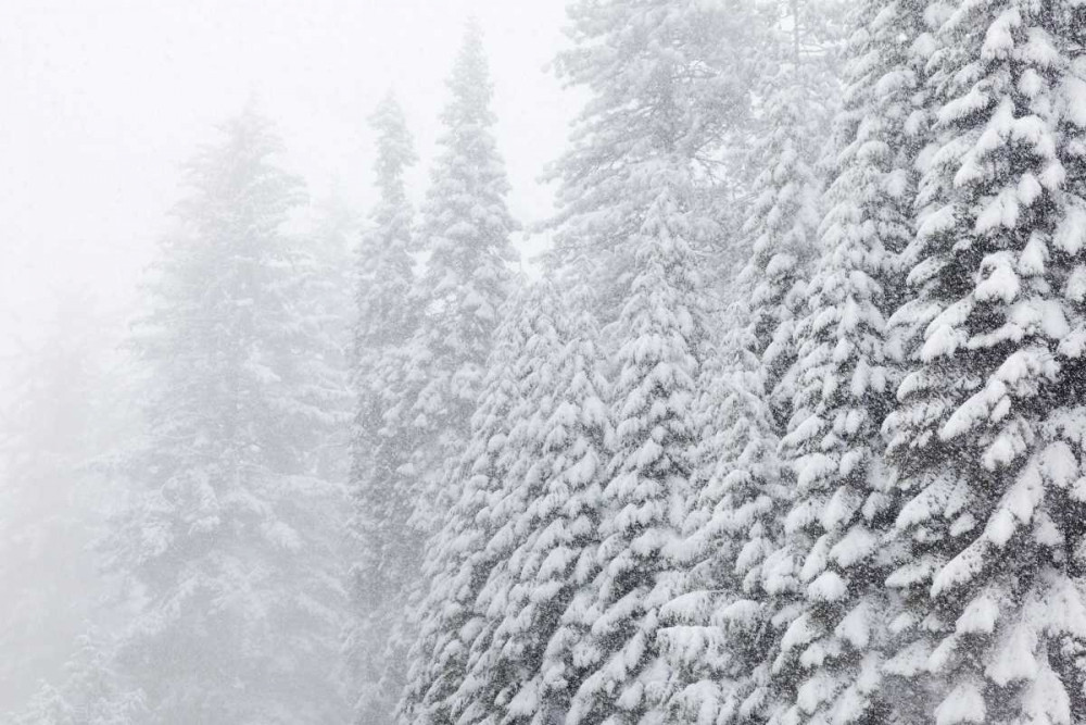 USA, California, Oakhurst Fir trees in snowfall Paulson, Don 133003