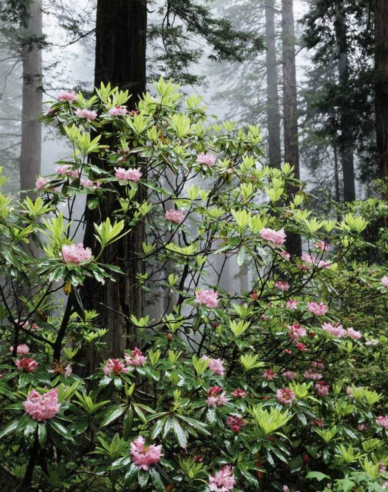CA Redwood trees with Rhododendron Flowers Talbot Frank, Christopher 134875