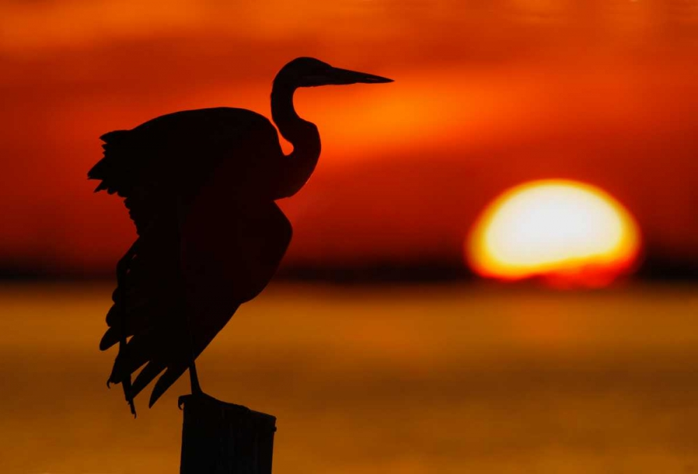 FL, St Petersburg, Silhouette of great blue heron Morris, Arthur 131306