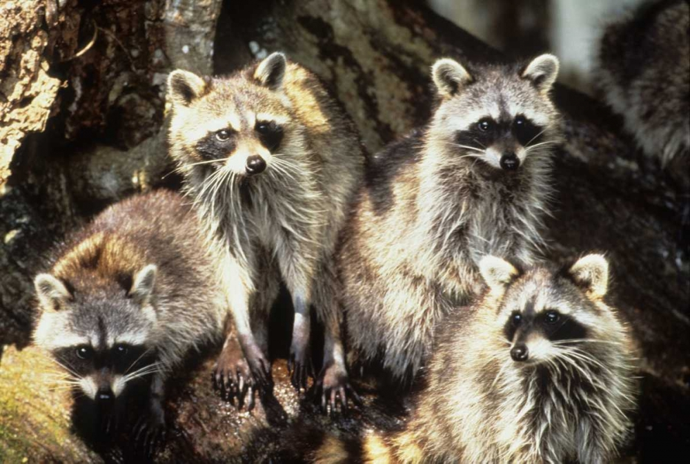 Florida, Silver Springs Raccoon family portrait Williams, Joanne 136121