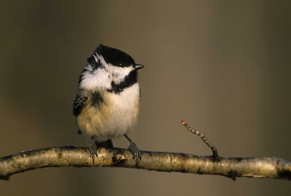 MI, Black-capped chickadee perched in winter wind Carlson, Mark 127143