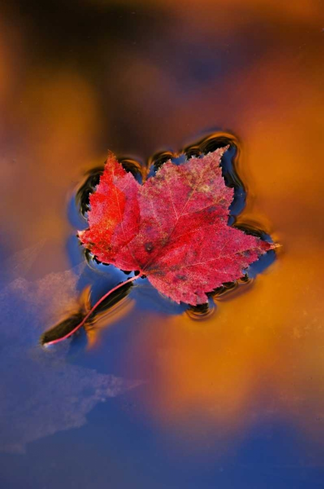 NH, White Mts, Maple Leaf in Fall Reflections Rotenberg, Nancy 133900
