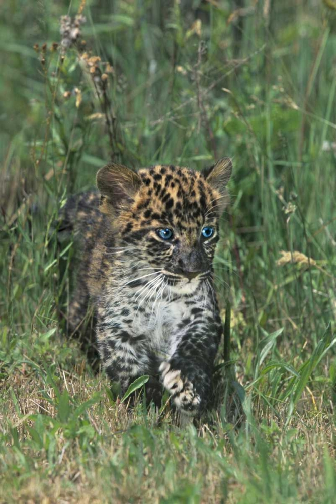 PA, African leopard cub walking in tall grass Welling, Dave 135839