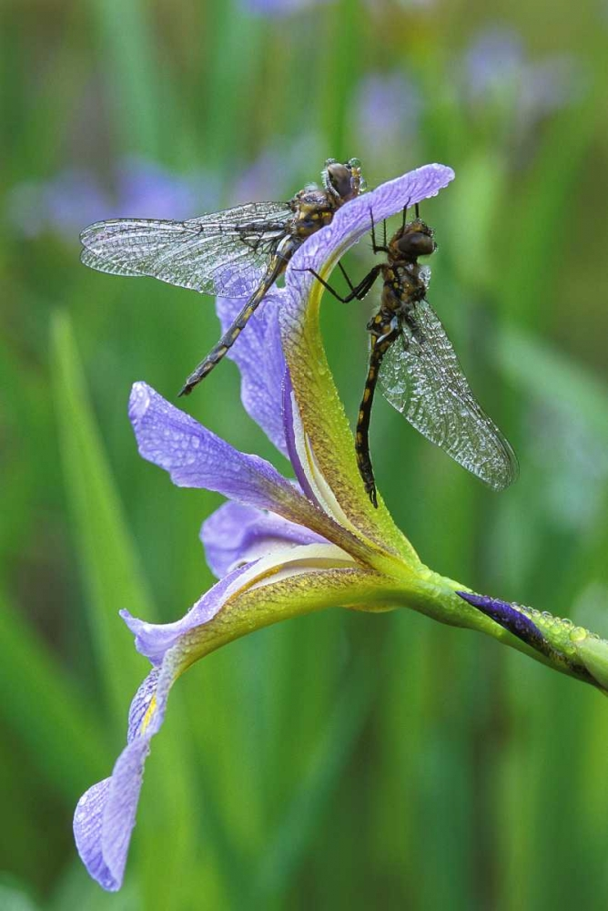 USA, Pennsylvania Two dragonflies on iris flower Rotenberg, Nancy 134097