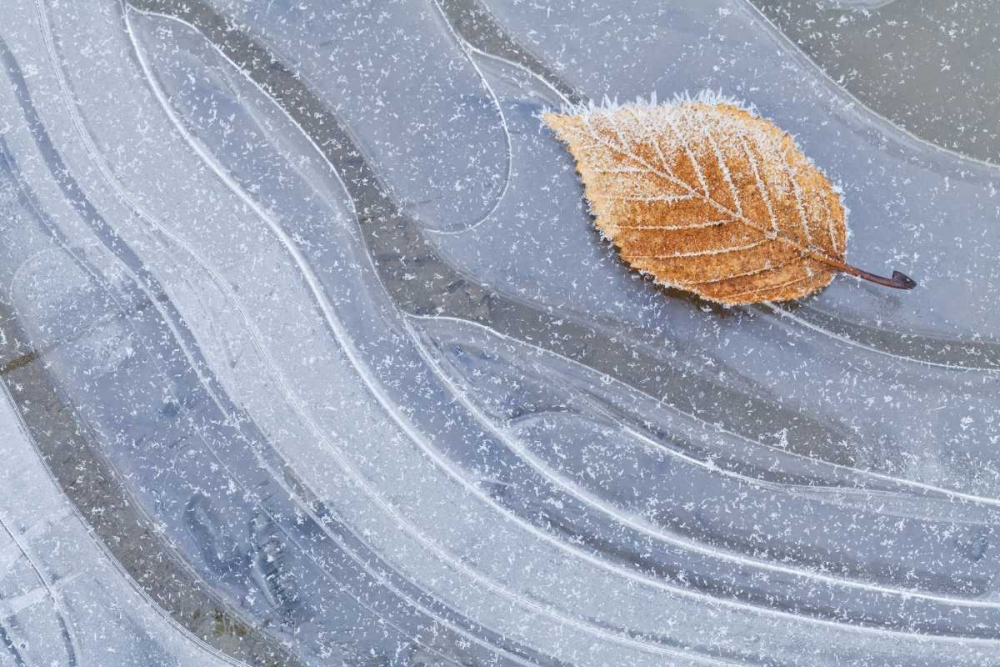 WA, Seabeck Autumn leaf on ice with frost Paulson, Don 132118