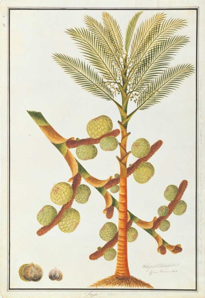 Sago Palm Anonymous, 19th C 119164