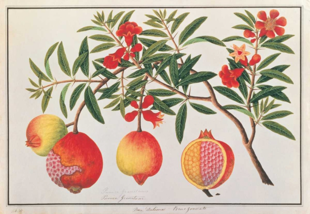 Pomegranate Anonymous, 19th C 119169