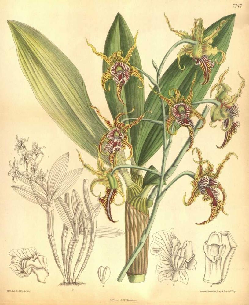 Orchid, Dendrobium Spectabile Curtis, William 119240