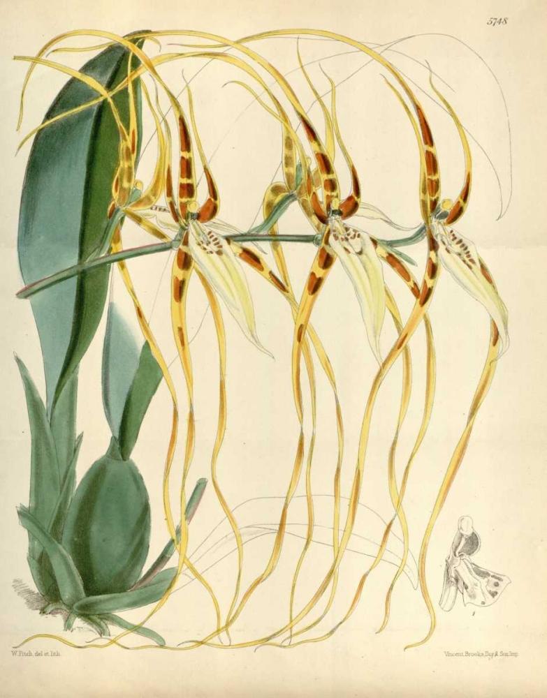 Orchid, Brassia Arcuigera Curtis, William 119246