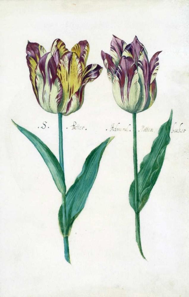 Tullips De Bray, Dirck 126432