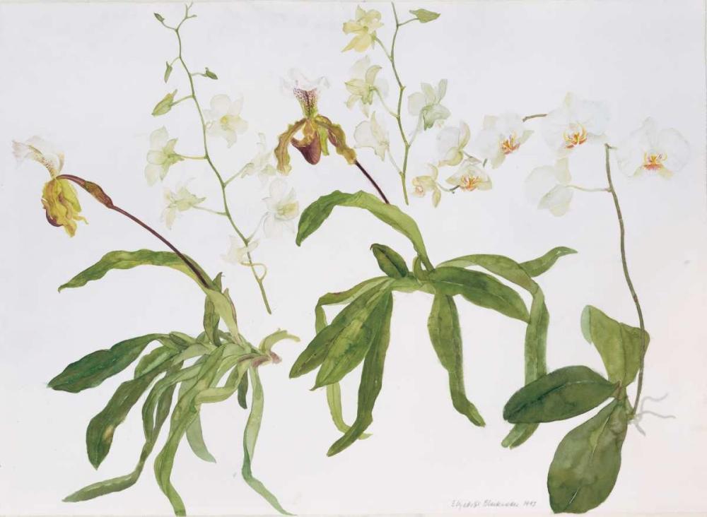 Orchids, Paphiopedilum and Dendrobium Blackadder, Elizabeth 154536