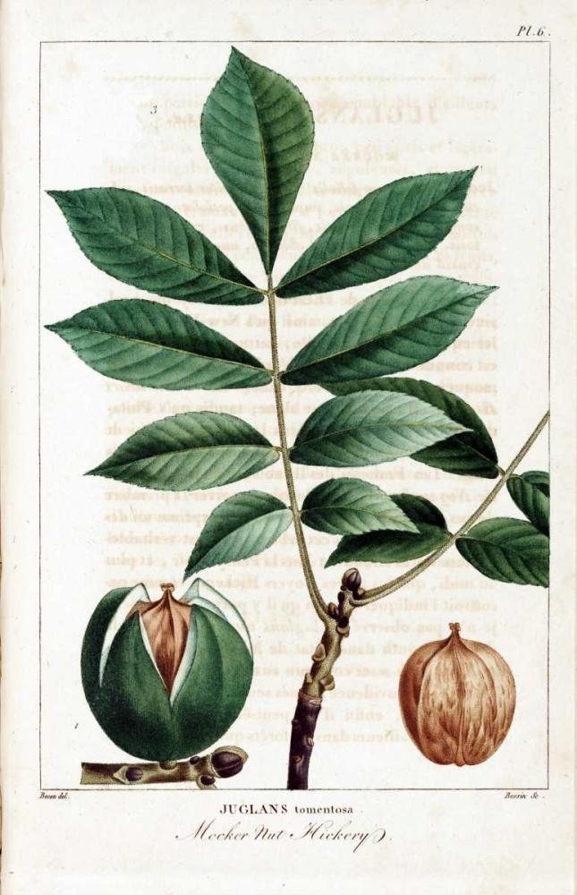 Hickory Nut Michaux, Francois A. 164233