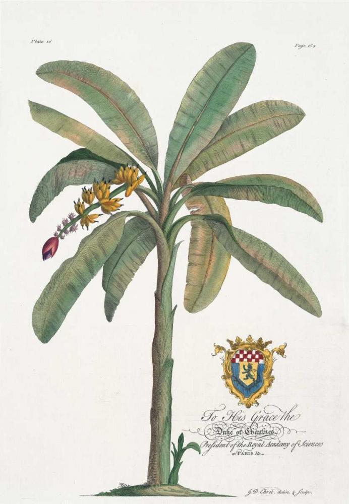 Banana Tree Ehret, Georg 119280
