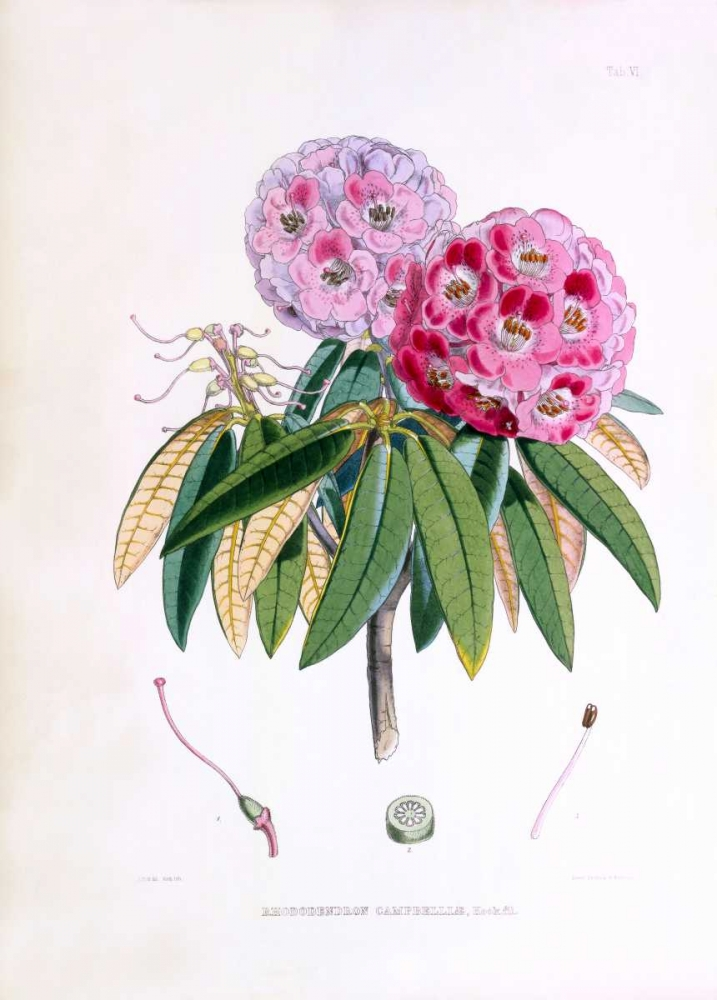 Rhododendron Campbelliae Hooker, Joseph Dalton 126451