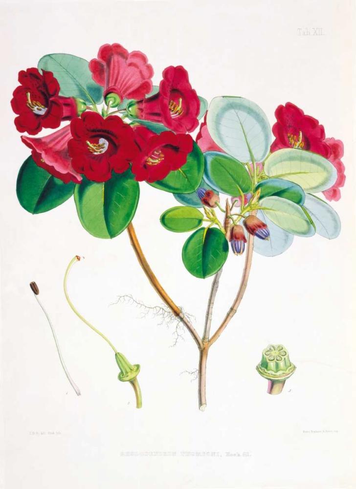 Rhododendron Thomsoni Hooker, Joseph 119297