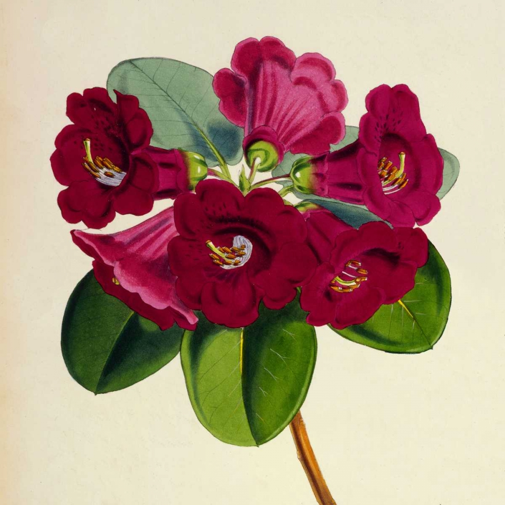 Rhododendron Thomsoni Flower Hooker, Joseph Dalton 126454