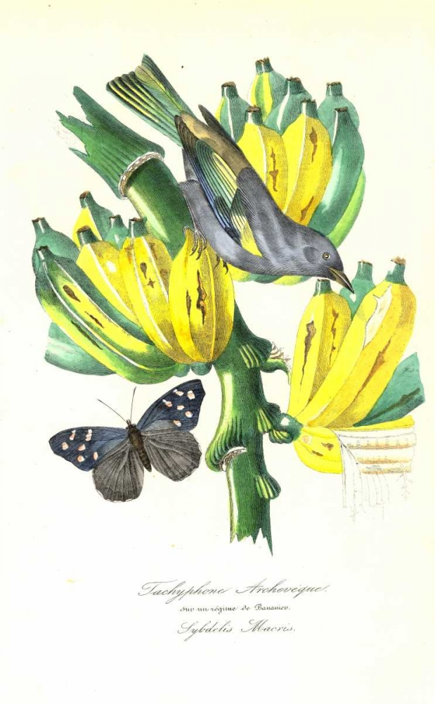 Finch on Bunch of Bananas Anonymous, 1842 119299