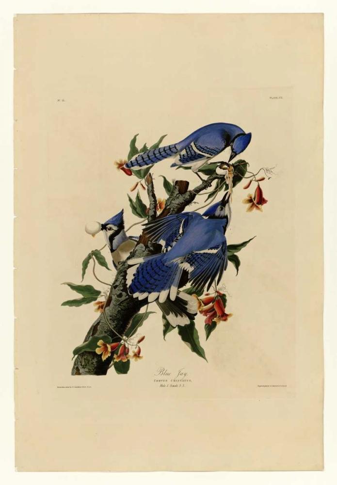 Blue Jay Audubon, John James 119317