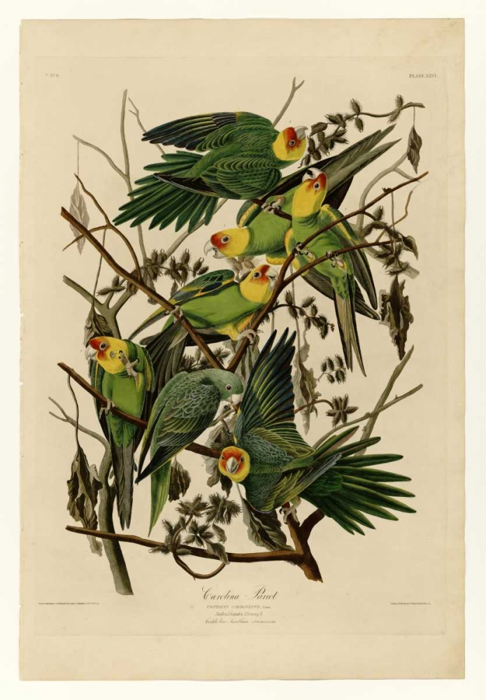 Carolina Parrot Audubon, John James 119335