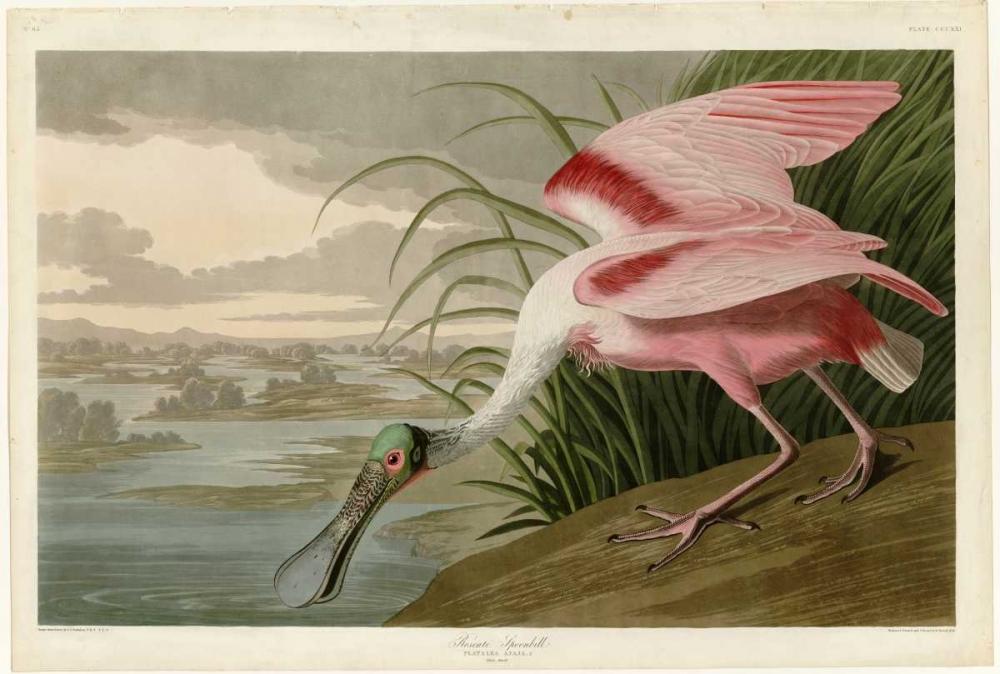 Roseate Spoonbill Audubon, John James 119341