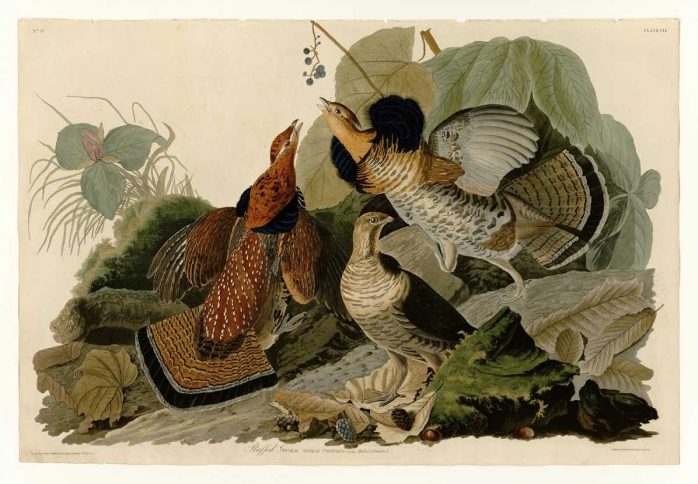 Ruffed Grouse Audubon, John James 119349