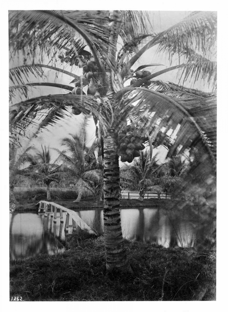 Coconut Palm, Hawaii, 1907-20 Anonymous 119387