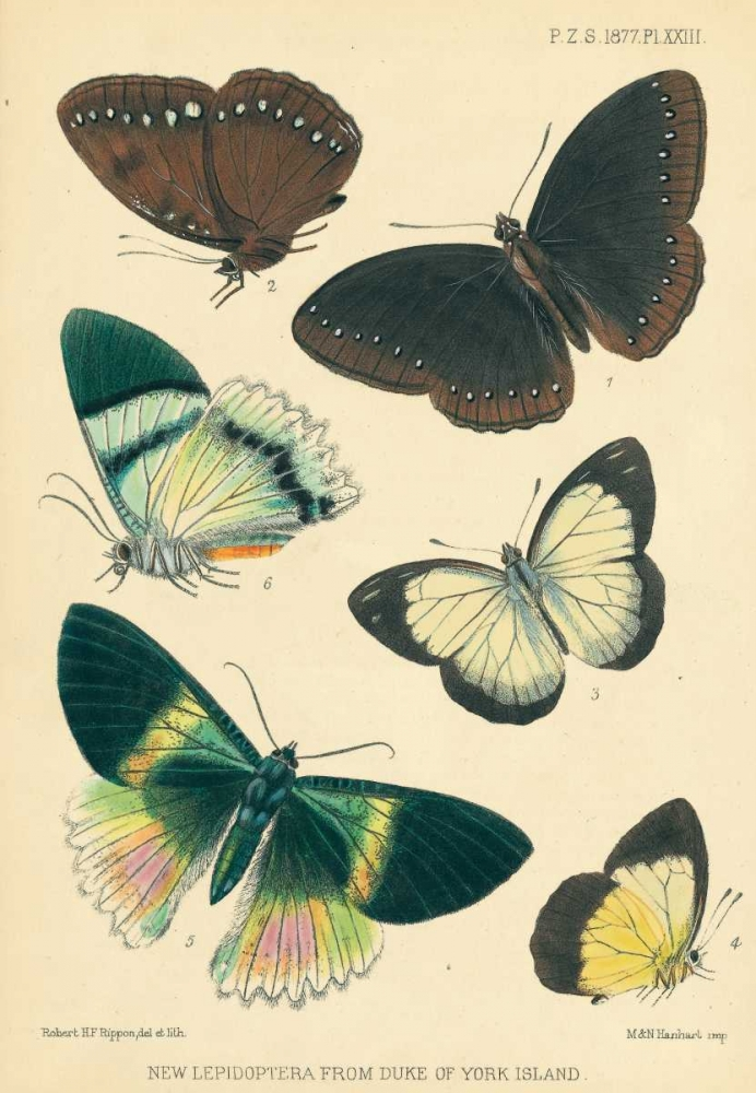 Butterflies, Duke of York Island Smit, Joseph 119398