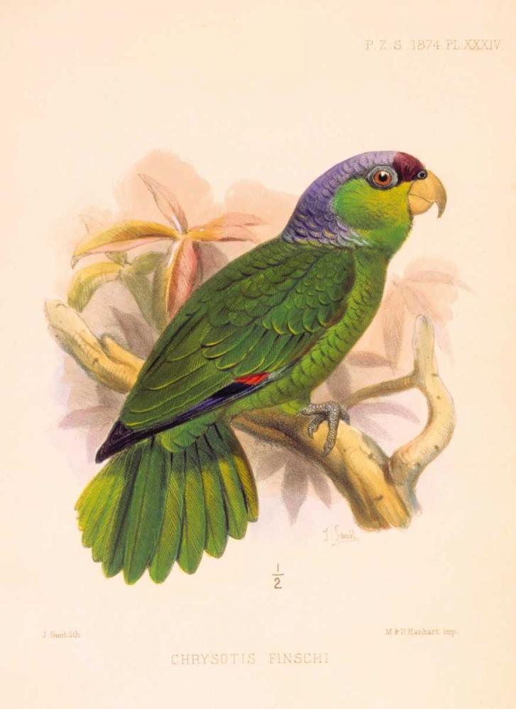 Parrot, Chrysotis Finschi Smit, Joseph 119400