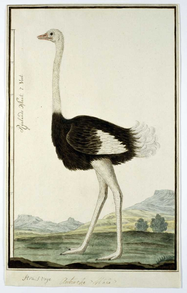 Ostrich Gordon, Robert J. 164240