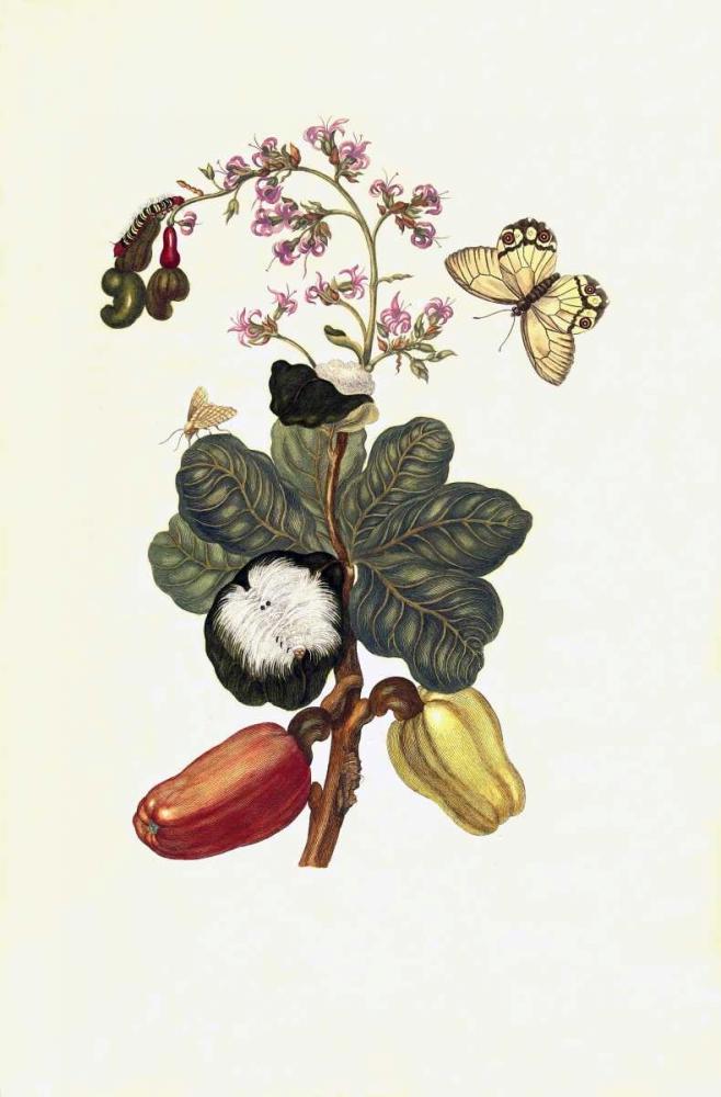 Tropical fruit, Butterfly, plate16 Merian, Sybilla 119421