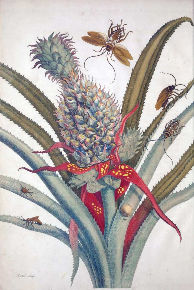 Pineapple, Insects, plate 1 Merian, Sybilla 119423