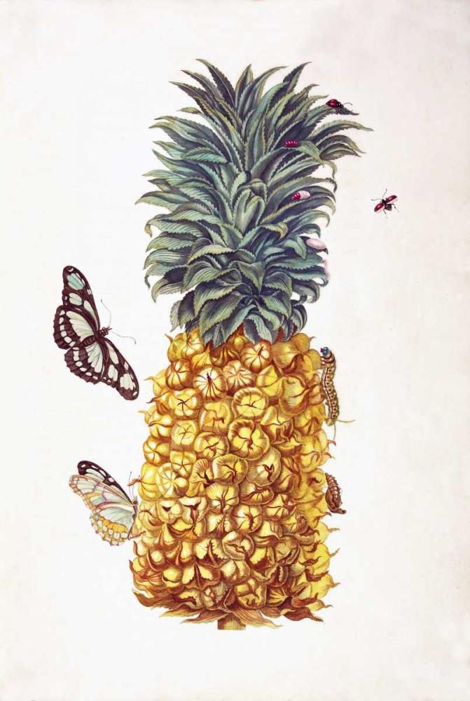Pineapple, Butterflies, plate 11 Merian, Sybilla 119428