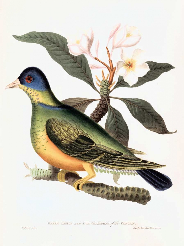 Green Pigeon Hooker, William 119445
